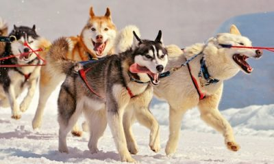 Holiday Finland with dog sledging